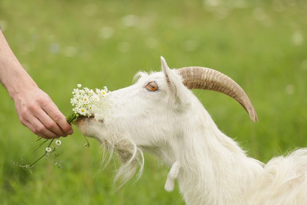 savon à base de lait de chèvre